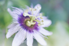 A Little Touch Of Heaven (Anna Kwa) Tags: passionflower passionvines passiflora passifloraceae flower macro bokeh dof annakwa nikon d750 afsvrmicronikko105mmf28gifed my alittletouchofheaven always dreams imagination garden emotion feelings seeing heart soul throughmylens secretgarden thethingsyouaretome elainepaige lost destiny fate