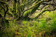 DSC4717 (ste.wi) Tags: tree perlenbachtal eifel germany nrw green nature outdoor deutschland frühling springtime sony ilce6000 alpha6000 1650mmf3556oss moss
