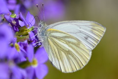 Pieris napi (kyry2010) Tags: pieris napi pieride del navone farfalla butterfly mariposa papilon schmetterling