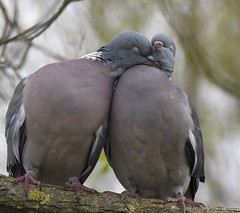 Woodpigeons in love (Carl Bovis Nature Photography) Tags: woodpigeon woodpigeons pair mates lovers love romance romantic loving close closeness cute carlbovis carlbovisnaturephotography pigeon pigeons 2 nature northsomerset nikon nikond500 rspb backwell backwelllake sweet twosome hug hugs cuddle cuddles cosy tender tenderness bbcspringwatch springwatch spring courting courtship bird birds dove doves heart ringdove ringdoves