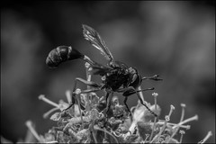 DRD160807_0039 (dmitry_ryzhkov) Tags: fly flies diptera moscowskaya oblast blackandwhite bw monochrome black white bnw blacknwhite blackwhite arthropoda flower flowers flora grass plant plants botanysummer forest field russia moscow art europe light lights shadow shadows live photo photography shot sony alpha wild wildlife life moment shots nature naturephoto naturephotography natureshot photograph close closeup closeupshot macro macrophoto macrophotos macrophotography macroshot small micro little entomology entomologist biologist biology zoology botany fauna enviropment outdoor outdoors bug bugs animal animals animalphotography insect