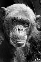 Chimpanzee, Olmense Zoo Belgium (Thijs.Photography) Tags: zoo ape apes chimpansee chimpansees chimp chimpanzee olmensezoo zoophotography photography animalphotography animal blackandwhite blackwhite blackndwhite grey portrait facetoface eyeineye