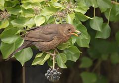 Blackbird-F-7085 (Kulama) Tags: blackbird birds nature wildlife woods bush garden grass spring westsussex canon7dmarkii sigma150600563c