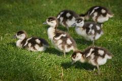 Egyptian Geese Goslings (paulinuk99999 - tripods are for wimps :)) Tags: paulinuk9999 egyptian geese goslings babies hampton court palace spring 2017 sal70400g