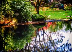 Where Peacocks Roam (Colormaniac too) Tags: landscape colorful dreamlandscape peacock quintadaaveleda vineyard portugal garden fantasygarden dreamscape travel europe topaztextureeffects topazimpression flypapertextures