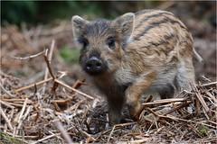 "Wild Boar hoglets (DaveChapman ""If it flies,I shoot it"") Tags: wildlife wild boar baby young animal wildboar uk england forest"