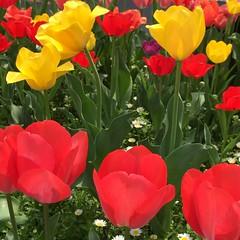 春・チューリップ (eyawlk60) Tags: beautiful tulip red color yellow spring 春 チューリップ 赤 黄 美しい 四季