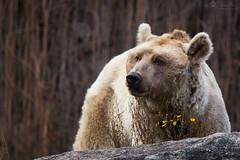 Brown bear (Cloudtail the Snow Leopard) Tags: braunbär bär bear mammal säugetier brown predator beutegreifer ursus arctos zoo wilhelma stuttgart