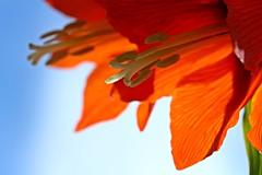 Kaiserkrone (notpushkin) Tags: spring easter orange flower garden