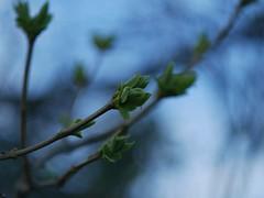 First leafs. (Leszek Wronski) Tags: leszekwronski panasoniclumixdmcg7 panasonicdmcg7 panasonicg7 panasonic g7 mft m43 lumixdmcg7 lumixg7 lumix spring firstleafs leafs