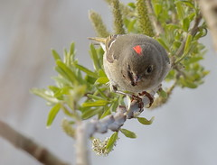 Ruby-crowned Kinglet (Eric_Z) Tags: rubycrownedkinglet food snack flies red crown richmond bccanada catchflies insect