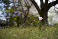 a Tulip (ai3310X) Tags: none supertakumar 50mmf14 tulip チューリップ 昭和記念公園