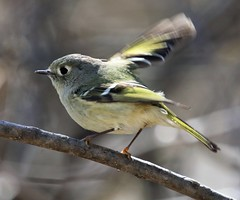 Speedy Gonzalez (Jeannine St. Amour) Tags: bird kinglet rubycrownedkinglet nature wildlife migration ottawa