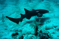 nurse shark and bar jacks (Jeff Mitton) Tags: nurseshark barjack guanaja honduras marine sand scuba caribbean earthnaturelife wondersofnature
