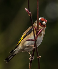 goldfinch3 (1 of 1)