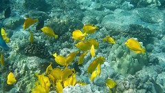 Snorkeling Kealakekua Bay, Kona Coast of Hawaii (helenehoffman) Tags: snorkeling kailuakona parrotfish snorkel islandofhawaii blacktriggerfish bigisland yellowtang kealakekuabay hawaii marine humuhumueleele