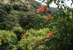 2017 Hawaii-208 (Michael L Coyer) Tags: hawaii2017 flower blossom fruit waimea waimeavalley