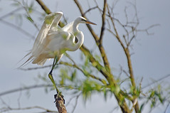 king of all he surveys (christiaan_25) Tags: greategret ardeaalba egret bird white big animal flyer wings feet toes claws face beak landing tree nature wildlife outside outdoors light toehold