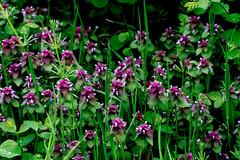 April Colors. (Omygodtom) Tags: holiday ice bloom happy cielo green purple field flower flickr digital dof d7100 bokeh tamron90mm tamron nikon nature natural star diamond