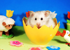 Happy Easter! ~ Bubu (pyza*) Tags: gucio bubu hamster hammie syrian syrianhamster animal pet rodent critter furry fluffy easter egg holidays spring pyza