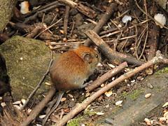 Bank vole (deannewildsmith) Tags: earthnaturelife staffordshire wolseleynaturecentre vole bankvole
