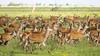 Oostvaardersplassen (Hans van der Boom) Tags: nederland netherlands ijsselmeerpolders flevopolder oostvaarderplassen animal deer herd doe young many lelystad nl perpetualwinner