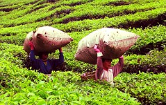 Toil in the Plantation (micheledibitetto) Tags: highlands cameron toil tea plantation malaysia work green people