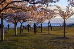 Picture Perfect [Explored] (Clayton Perry Photoworks) Tags: vancouver richmond bc canada cherryblossoms sakura garrypointpark stevestonfishingvillage spring trees pink flowers