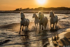 Wild White Horses (Aline Caid - Aline Passion Photo) Tags: chevauxsauvages camargue chevaux