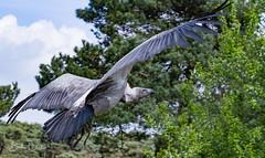 IMG_1790 (Bert Portael) Tags: vulture bird wildlife beeksebergen animals wilde dieren
