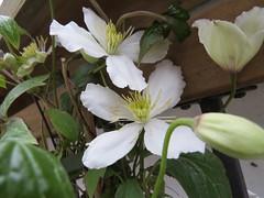 9752 Clematis montana 'Grandiflora' (Andy - Busyyyyyyyyy) Tags: bbb bloom ccc clematis clematismontana'grandiflora' fff flower ggg mmm montana montanagrandiflora white www