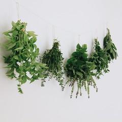Drying Herbs from the Garden (maryjaneduford) Tags: diy herbs herb basil oregano thyme herbgarden garden gardening culinary culinaryherbs