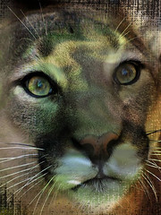 Cougar (Trish's Scrappin') Tags: cougar texture animal