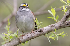 White-Throated Sparrow 4-22-2017-9 (Scott Alan McClurg) Tags: emberizidae passeri passeroidea zalbicollis zonotrichia animal back backyard bird life nature naturephotography neighborhood perch perching portrait songbird sparrow spring suburbs whitethroated whitethroatedsparrow wild wildlife