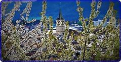 Spring in Zurich-1 (Ioan BACIVAROV Photography) Tags: bacivarov ioanbacivarov bacivarovphotostream interesting beautiful wonderful wonderfulphoto nikon journalism photojournalism spring zurich flower flowers