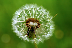 Just Hanging Out (Celine Chamberlin) Tags: oregon flower dandelion seedhead macro nature spring monmouth explored
