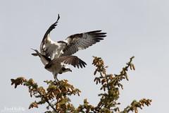 Rite of Spring (dekish1) Tags: osprey raptor mating springtime 2v3a2431jpg silverthorne colorado unitedstates us canon7dmarkii canon100400mm copyrightdavidkish2017