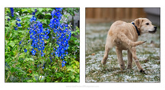 blue butt (Dave (www.thePhotonWhisperer.com)) Tags: kuleshov puppy mutt young youth flower renewal
