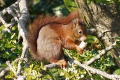 Rusty (green gennii) Tags: red squirrel jersey garden visitor