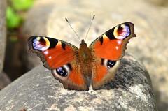 DSC_0447 (sylvette.T) Tags: papillon insecte peacockbutterfly papillonpaon nikond5100 objectif70200sigma infinitexposure