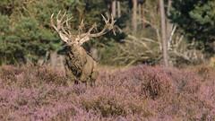 Red Deer (wimzilver) Tags: netherlands nederland reddeer hogeveluwe canon1740f4l edelhert nationalparkdehogeveluwe wimzilver wimboon canon70200lf4isef14x canon300mmf4lis14ex manfrotto055xprob808rc4 hertenbronst