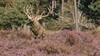 Red Deer (Wim Boon (wimzilver)) Tags: netherlands nederland reddeer hogeveluwe canon1740f4l edelhert nationalparkdehogeveluwe wimzilver wimboon canon70200lf4isef14x canon300mmf4lis14ex manfrotto055xprob808rc4 hertenbronst