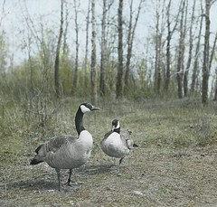 Canada Geese (Provincial Archives of Alberta) Tags: flowers plants vegetables flora botany