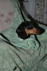 _140926_3339 (verbeek_dennis) Tags: dachshund tax kaapo dashond myrkoira  gravhund jazvek nikon800e tksa