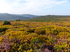P1010353 (jrcollman) Tags: plants places devon dartmoor houndtor callunavulgaris ulexgallii eplant ericacinerea cplant haytortohoundtor