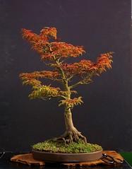 09270292 (jeremy_norbury) Tags: autumn fall september bonsai 2014