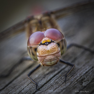 Full in the face Common Darter Dragonfly