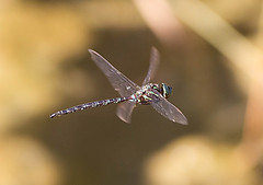 shda-m-nearcaro-9-26-14-tl-03-cropscreen-lowres (pomarinejaeger) Tags: insect ode dragonfly michigan odonata shadowdarner aeshnaumbrosa