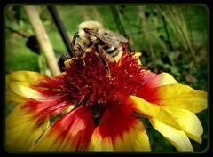 weiter geht es.... (karin_b1966) Tags: plant flower nature garden insect blossom natur pflanze bumblebee blume blte insekt garten hummel 2014 kokardenblume