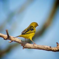 amarillo y negro (Mostly Tim) Tags: black bird birds yellow bolivia pjaros vgel bolivien vogel pjaro gelbschwarz santacruzdelasierra